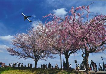 Sakura hikoki